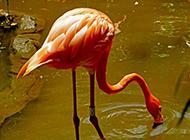 河里觅食的粉红色火烈鸟图片