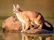 户外猎食的狞猫图片