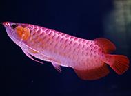 頂級洛賓紅龍魚圖片漂亮迷人