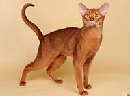 埃及猫威风凛凛的图片