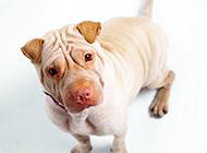 充滿哀怨的純種沙皮犬圖片