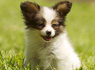 迷你蝴蝶犬幼犬图片欣赏