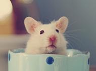 可爱的萌宠小白鼠图片