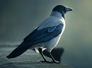 羽翼豐滿的烏鴉圖片素材