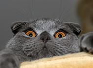 全黑苏格兰折耳猫搞怪表情图片