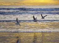 展翅飞翔的海鸟图片