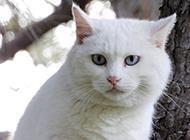 最美藍眼白貓實拍圖片欣賞