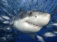 鯊魚微距高清圖片素材