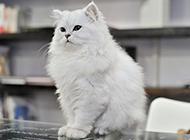 温顺聪慧的金吉拉猫图片