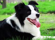 超可爱的黑白边境牧羊犬图片大全