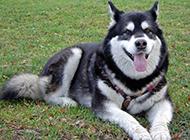 趴在草地上的成年阿拉斯加犬图片