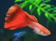 红蕾丝孔雀鱼图片美丽迷人