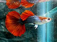 鴻運當頭鳳尾魚清晰實拍圖片