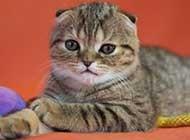 蘇格蘭折耳貓可愛呆萌迷倒人心
