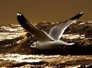 海面翱翔的海鸥高清组图