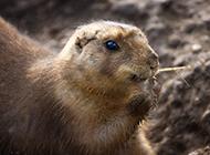 北極旅鼠可愛呆萌圖片