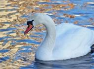 白天鹅图片 大图白天鹅情侣图片