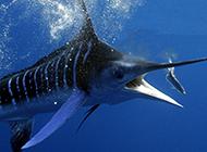 巨大旗鱼吃鱼图片壁纸