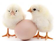 萌萌哒小鸡动物高清图片