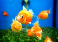 紅龍睛金魚圖片可愛小巧