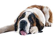 大型圣伯納犬胖乎乎的圖片