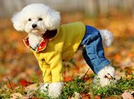 可爱萌宠泰迪犬穿衣服图片