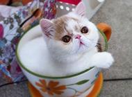 微型动物茶杯猫图片真实图片