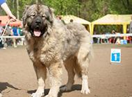身軀強壯的成年高加索犬圖片