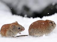 雪地中的田鼠圖片大圖