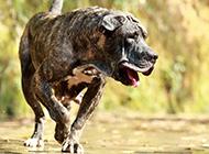 西班牙加納利犬兇猛動物高清壁紙