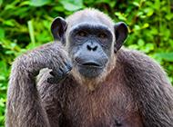身材高大强壮大猩猩图片