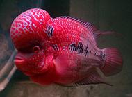 模样丑萌的珍珠罗汉鱼图片