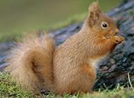 呆萌可爱的雪地松鼠图片