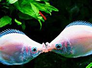 接吻鱼的图片引人注目