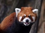 憨厚呆萌的小熊猫图片