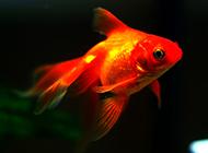 小紅金魚水中暢游圖片