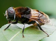 勤劳小蜜蜂图片微距特写