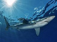 大鯊魚圖片壁紙高清精美