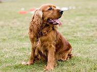 棕色纯种可卡犬草地休闲玩耍图片