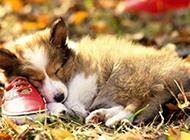 蘇格蘭牧羊犬幼犬睡覺圖片