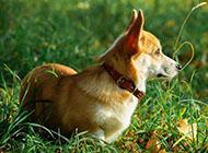 威爾士柯基犬絕美側影圖片