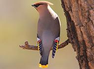 枝头栖息的大太平鸟图片