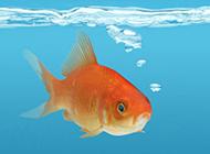 小金鱼表情忧郁图片