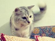 尾毛飘逸的挪威森林猫图片