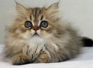 安静温柔的金吉拉猫图片