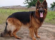 成年雄壮苏格兰牧羊犬图片