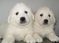 純種大白熊犬幼崽圖片