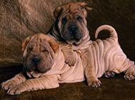 頭似河馬的沙皮犬幼犬圖片