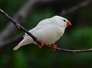 白珍珠鸟身形小巧图片