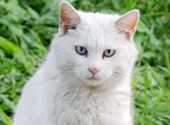 古灵精怪的蓝眼白猫图片